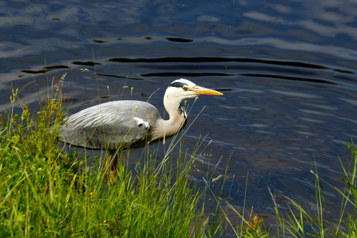 Цапля у синей воды цапля речка лето