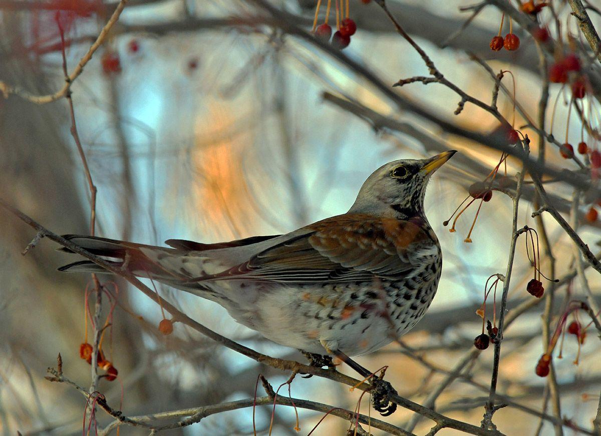 Утро.  Рябинник птицы дрозд рябинник