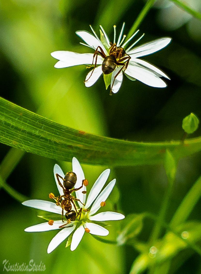 Этюд с муравьями... Муравьи цветы лето июнь