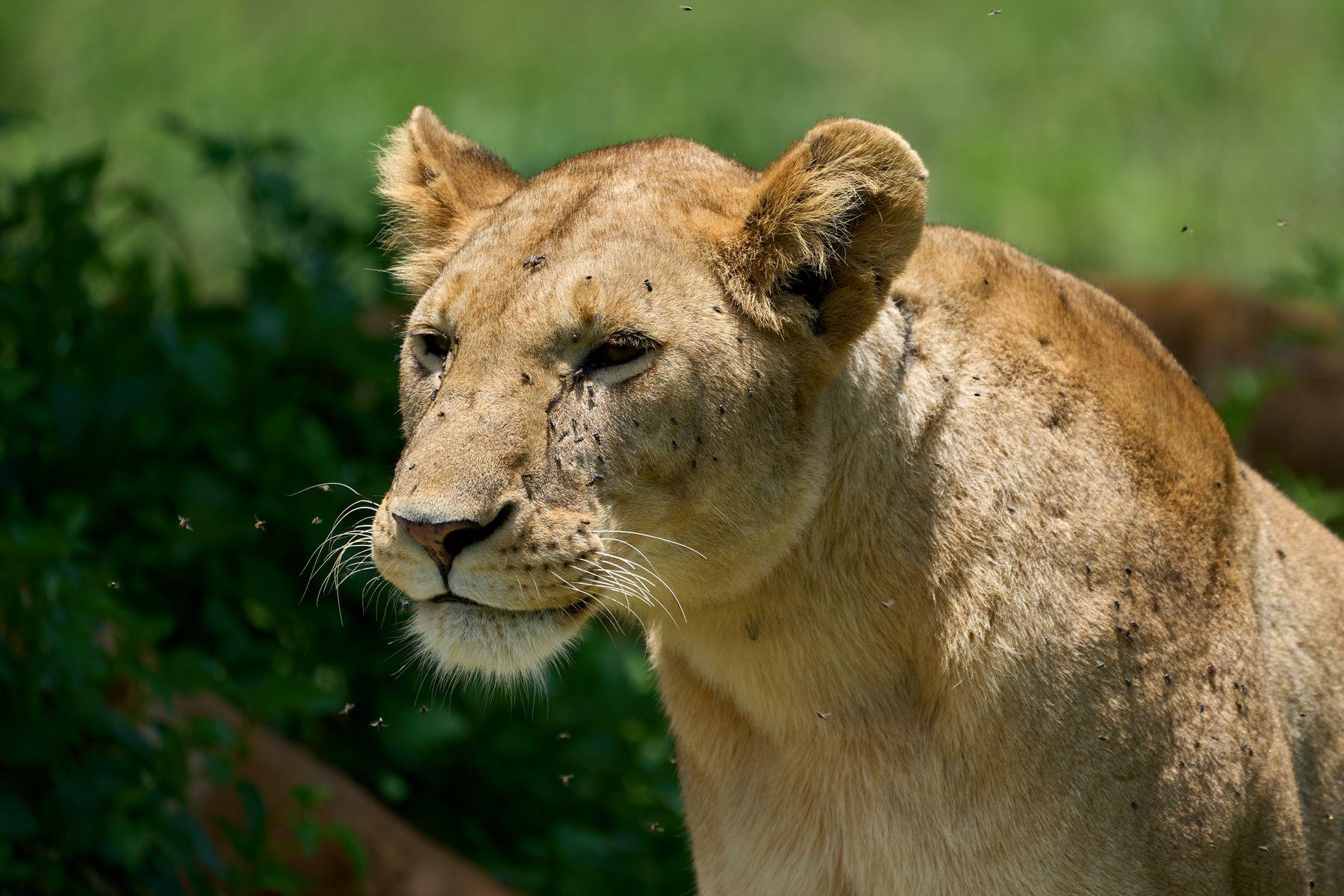 Львица Танзания Нгоронгоро Африка природа животные кошки львы