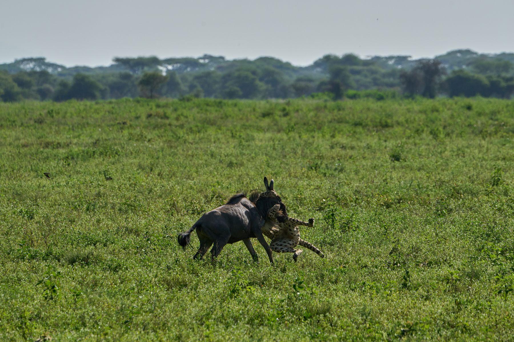 Гепард на охоте Танзания Нгоронгоро Африка природа животные кошки гепарды охота гну антилопа