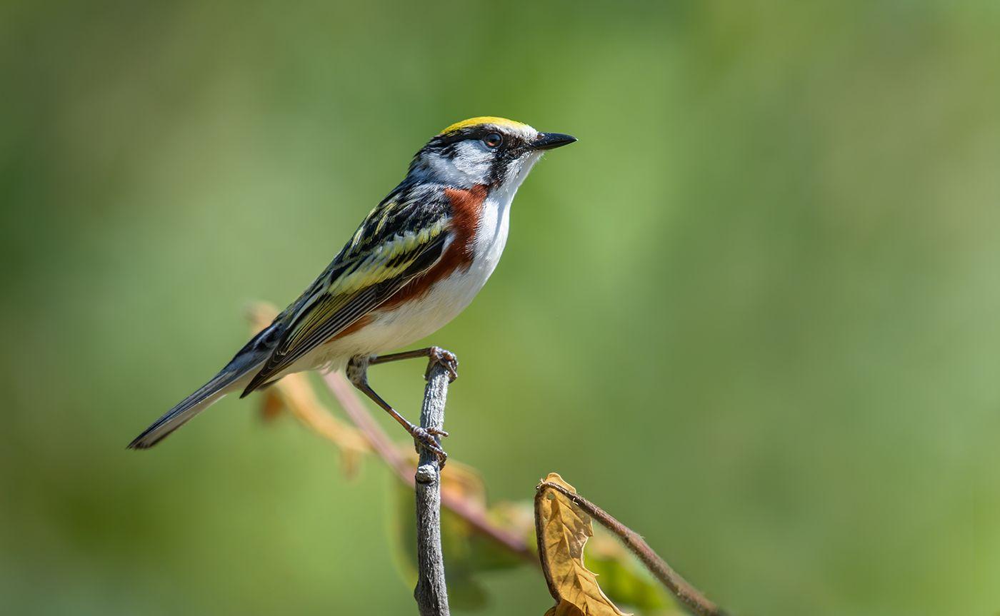 Chestnut-sided Warbler (male)