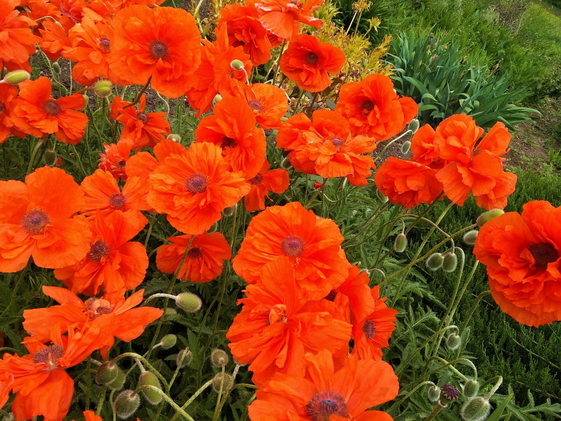 Красные маки цветы весна