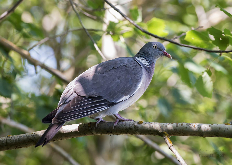 Лесной голубь вяхирь лесной голубь фотоохота