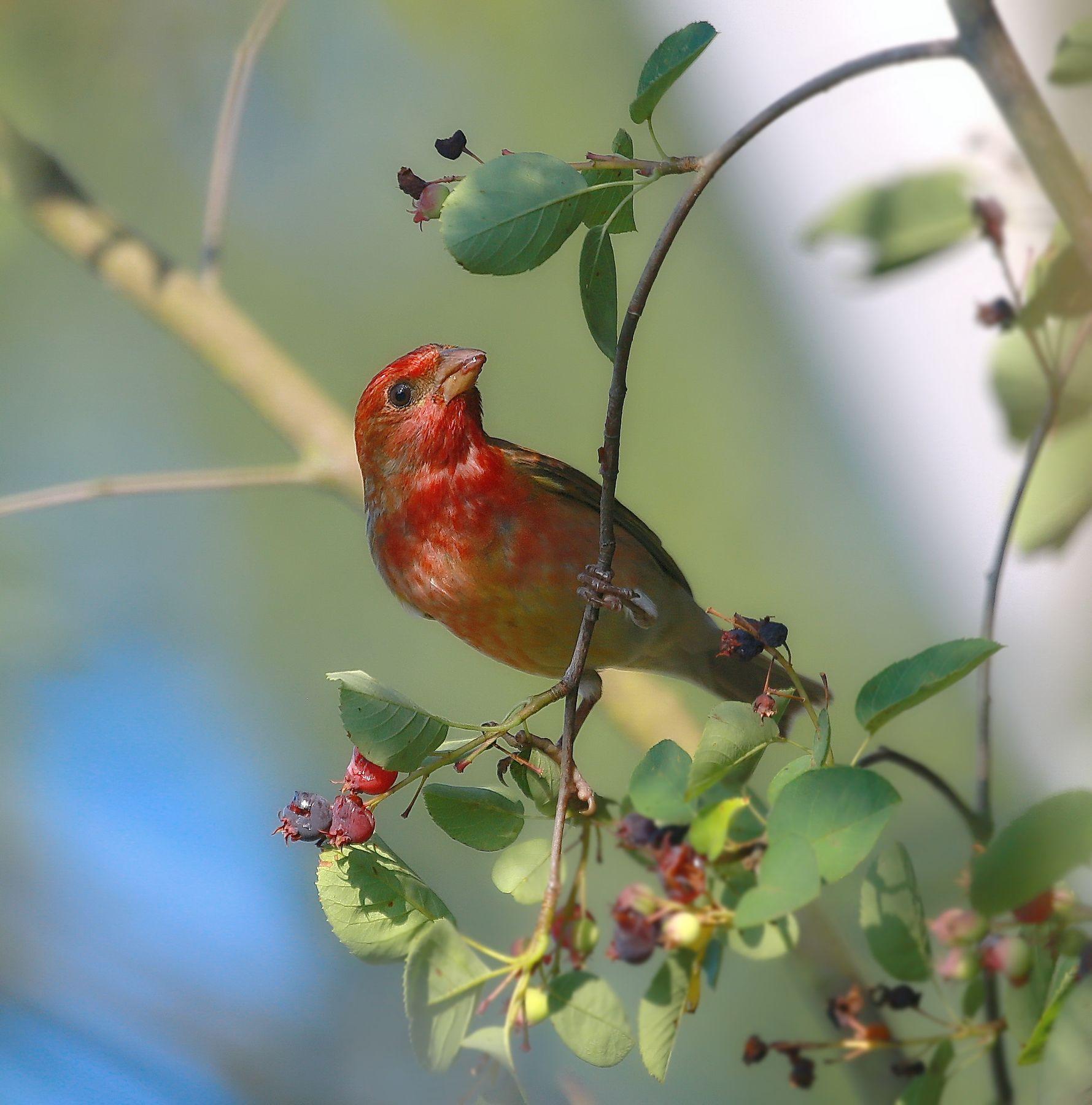 Утро чечевицы ( самца) утро птахи чечевица