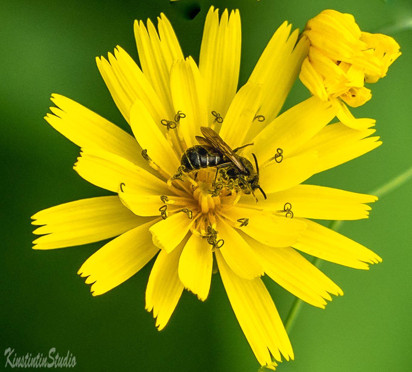 Пчела и цветок... пчела цветок лето июнь