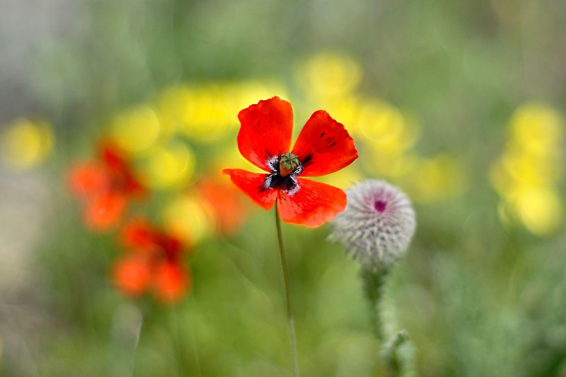 Солист цветы цветок мак маки чертополох