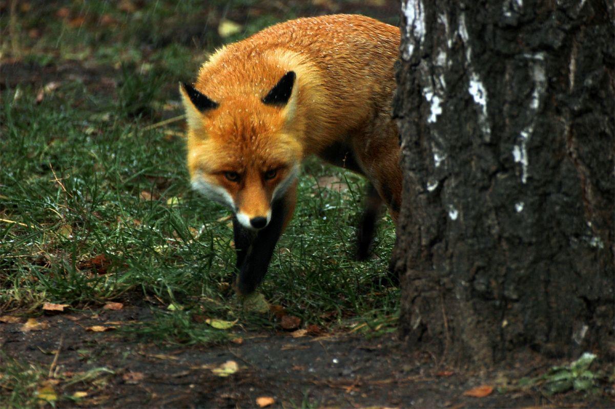 Хитрый лис животные хищник хитрая Фото животных рыжая плутовка лиса лес зоопарк