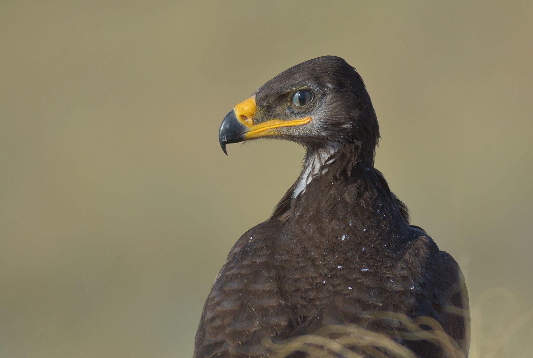 Взгляд орлика. лето степь гнездо степного орла