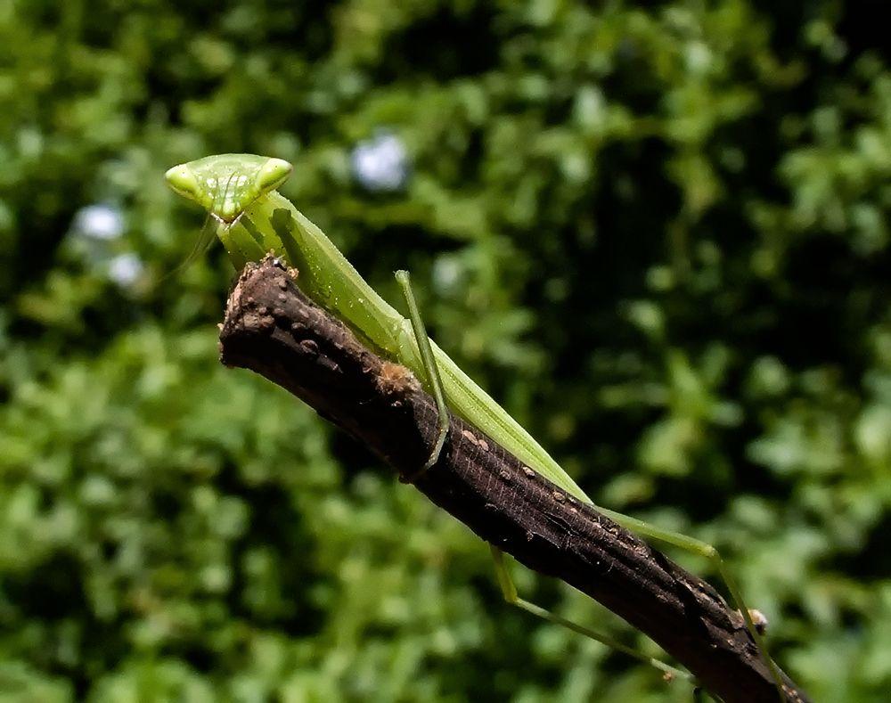 *** богомол природа зелень