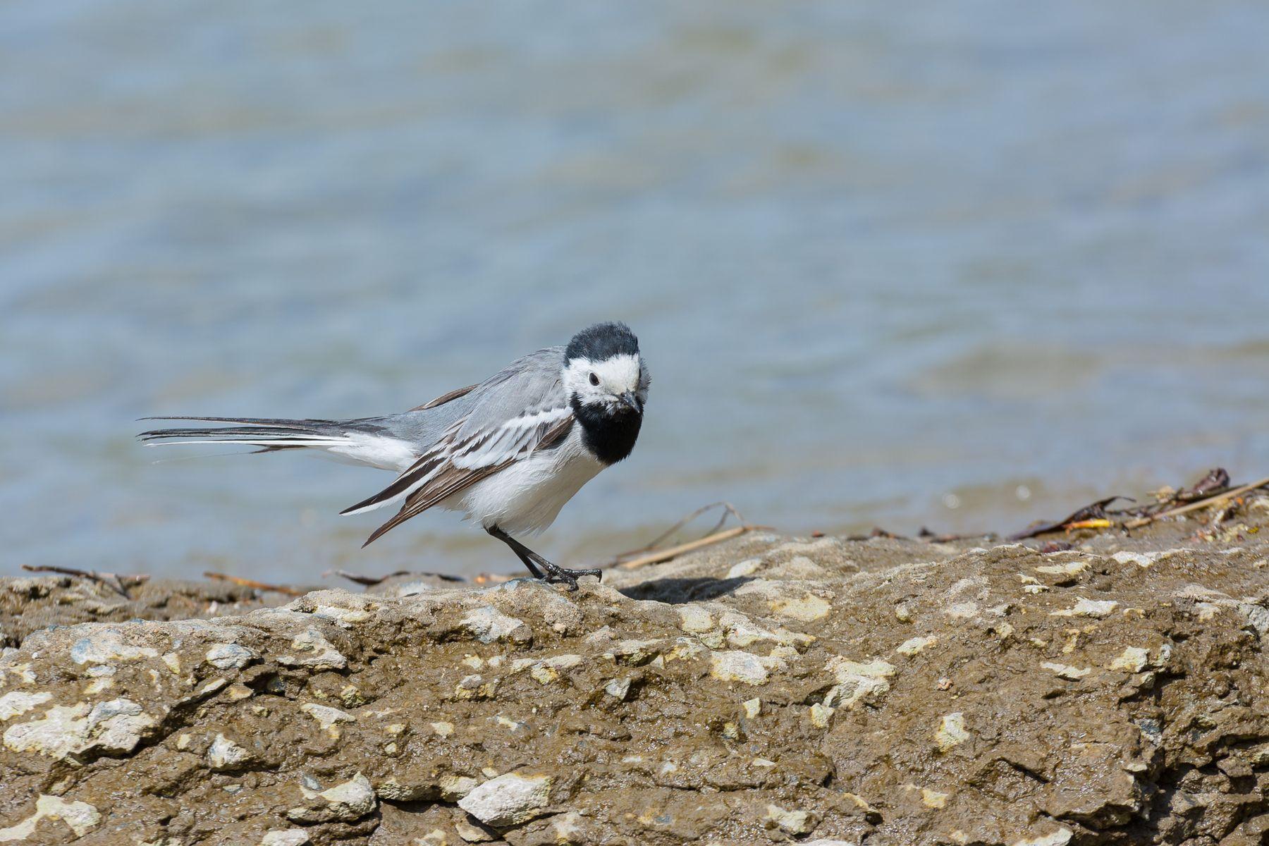 Трясогузка на побережье Трясогузка птица фотоохота Сибирь