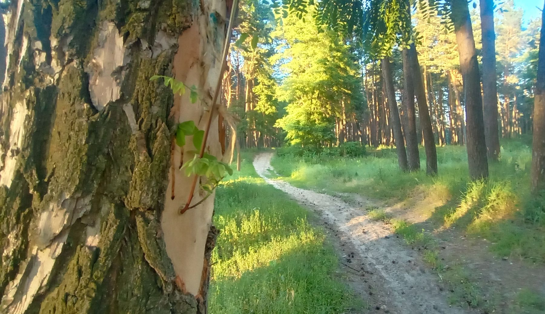 Тропа в лесу Сосновый лес тропа