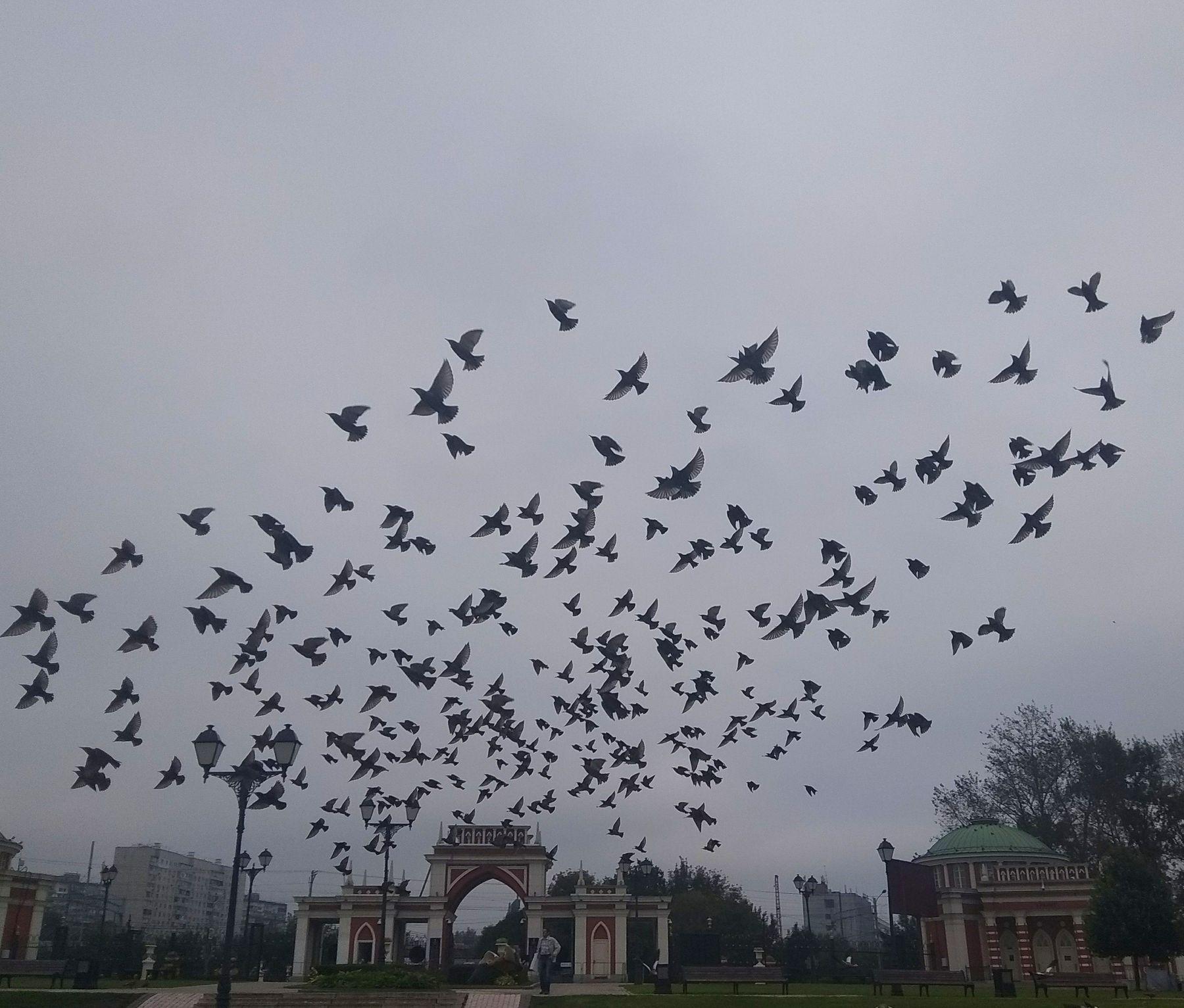 Стая птиц Царицино стая птиц птица