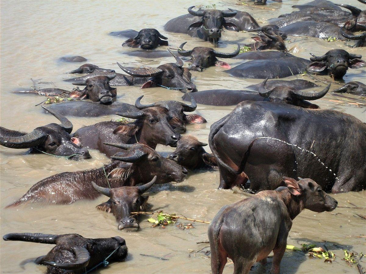 Мьянма. Буйволы на реке. бирма мьянма буйволы