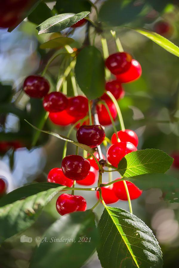 Вишня ягоды вишня лето