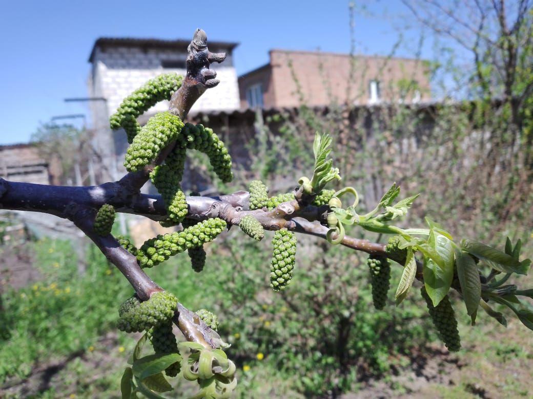 цветет грецкий орех грецкий орех