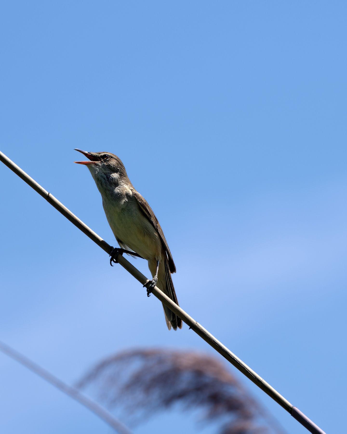 Птичка певчая Камышовка