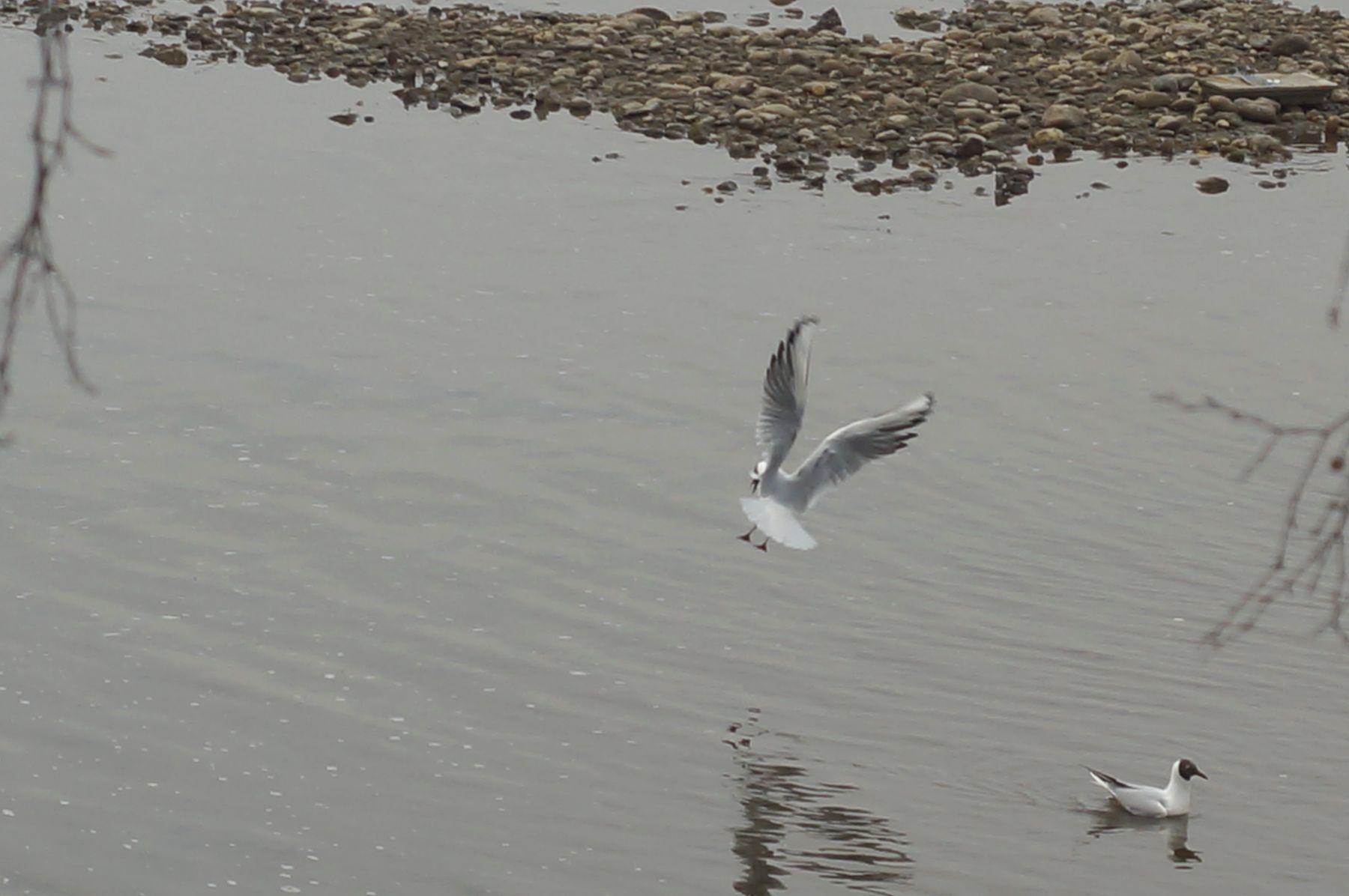 Посадка река весна чайки крачки вода