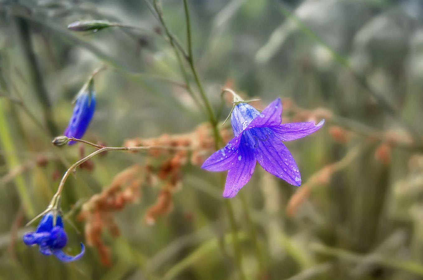 ***Цветы летнего луга.