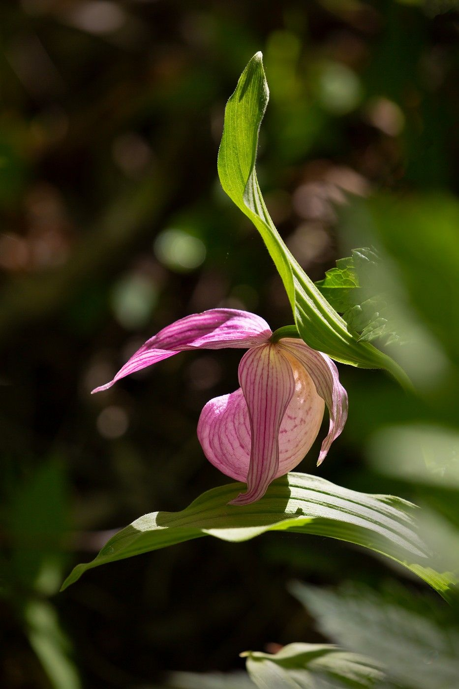 Башмачок башмачок крупноцветковый Владивосток остров русский май