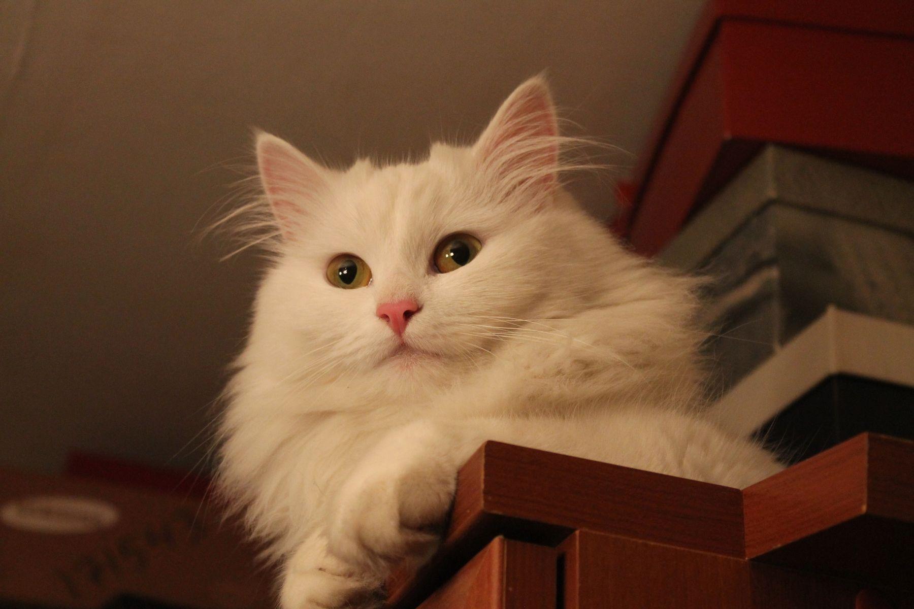 Кошка Ася Кошки
