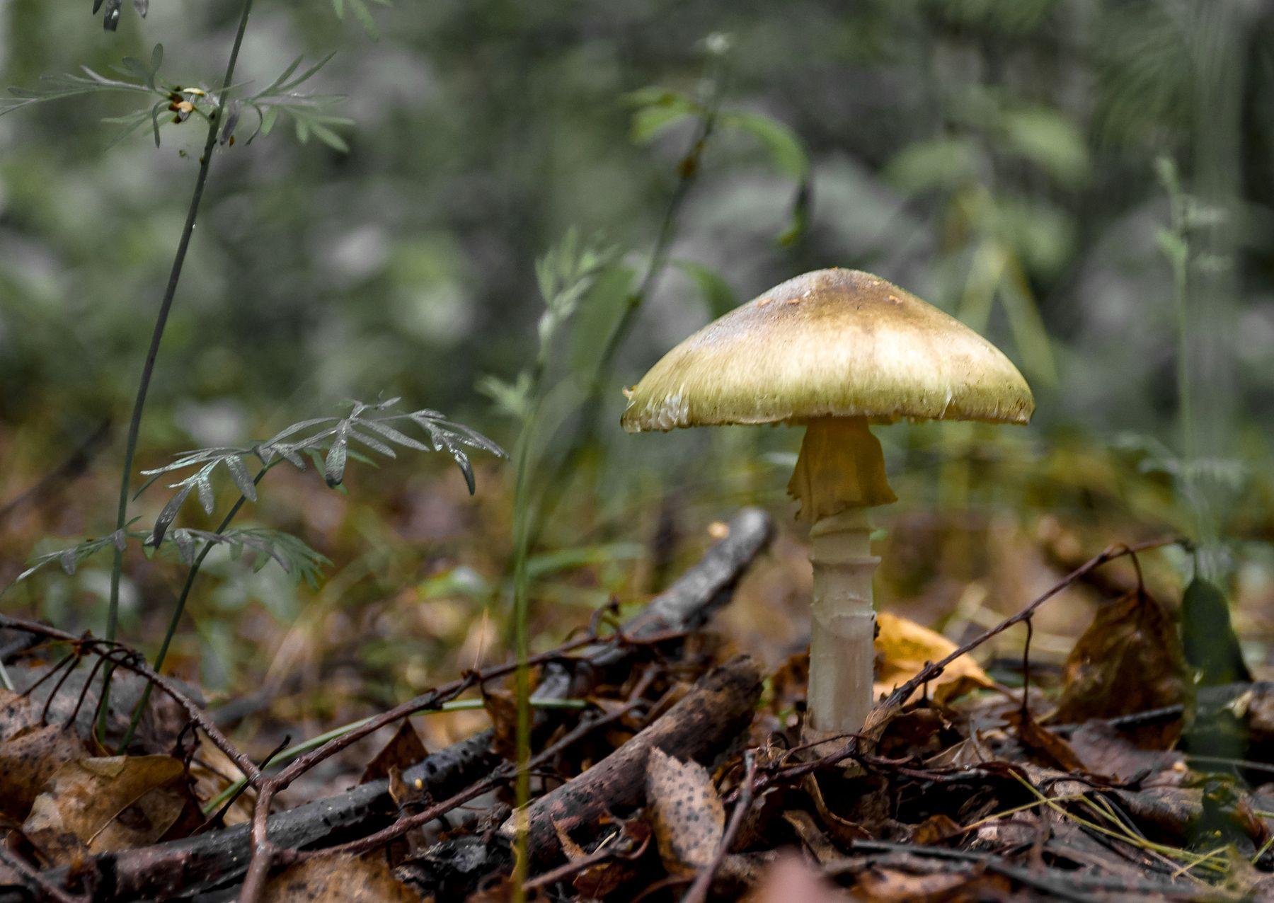 Бледная поганка грибы поганка бледная мухомор аманиты