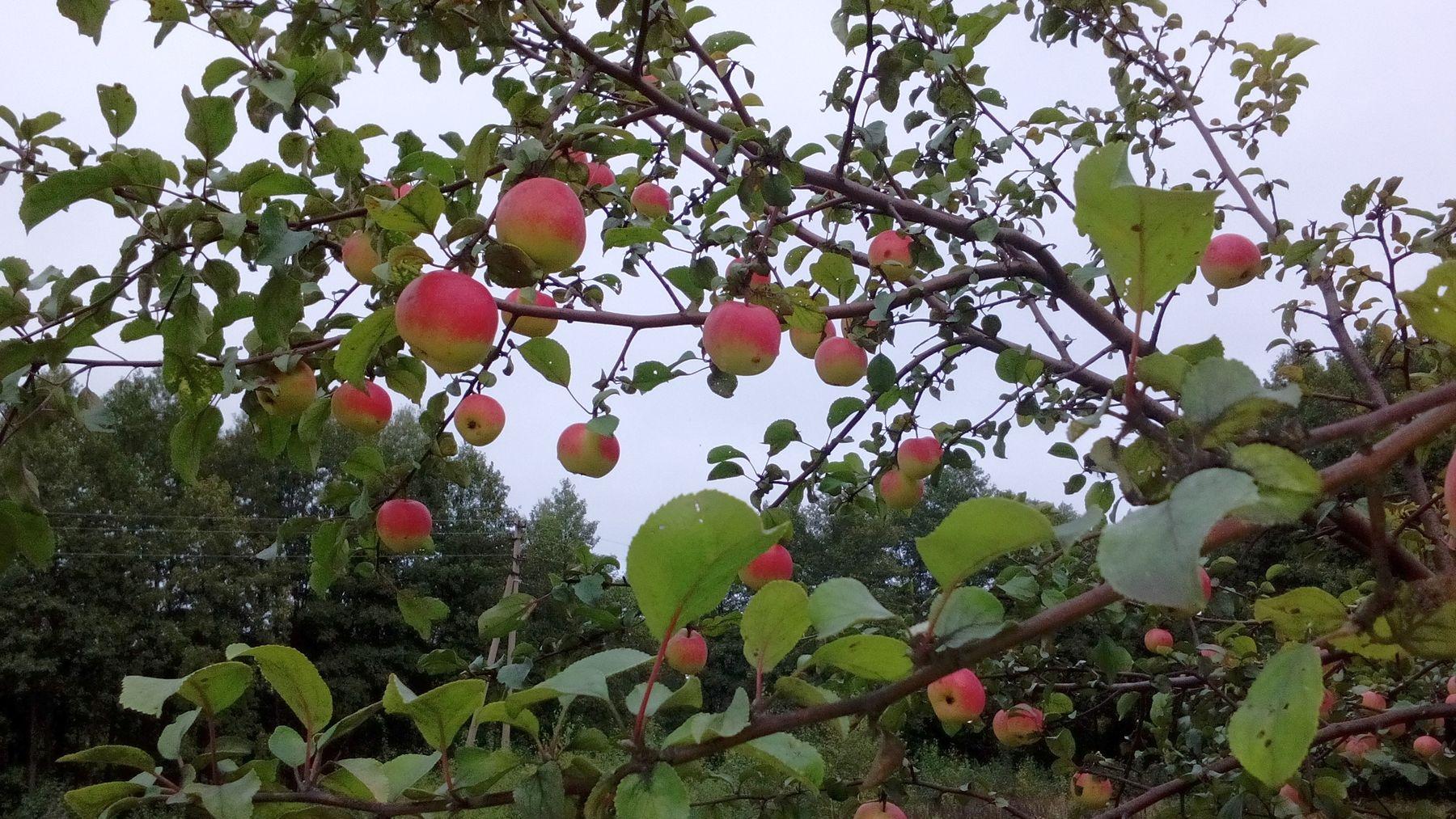 Плоды на дикой яблоне яблоня яблоки у дороги природа