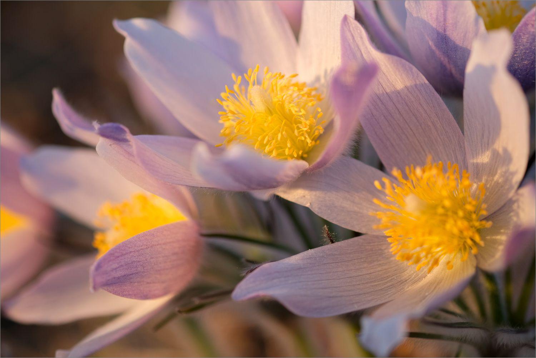 *** весна первоцветы сон-трава pulsatilla свет башкирия южный урал природа