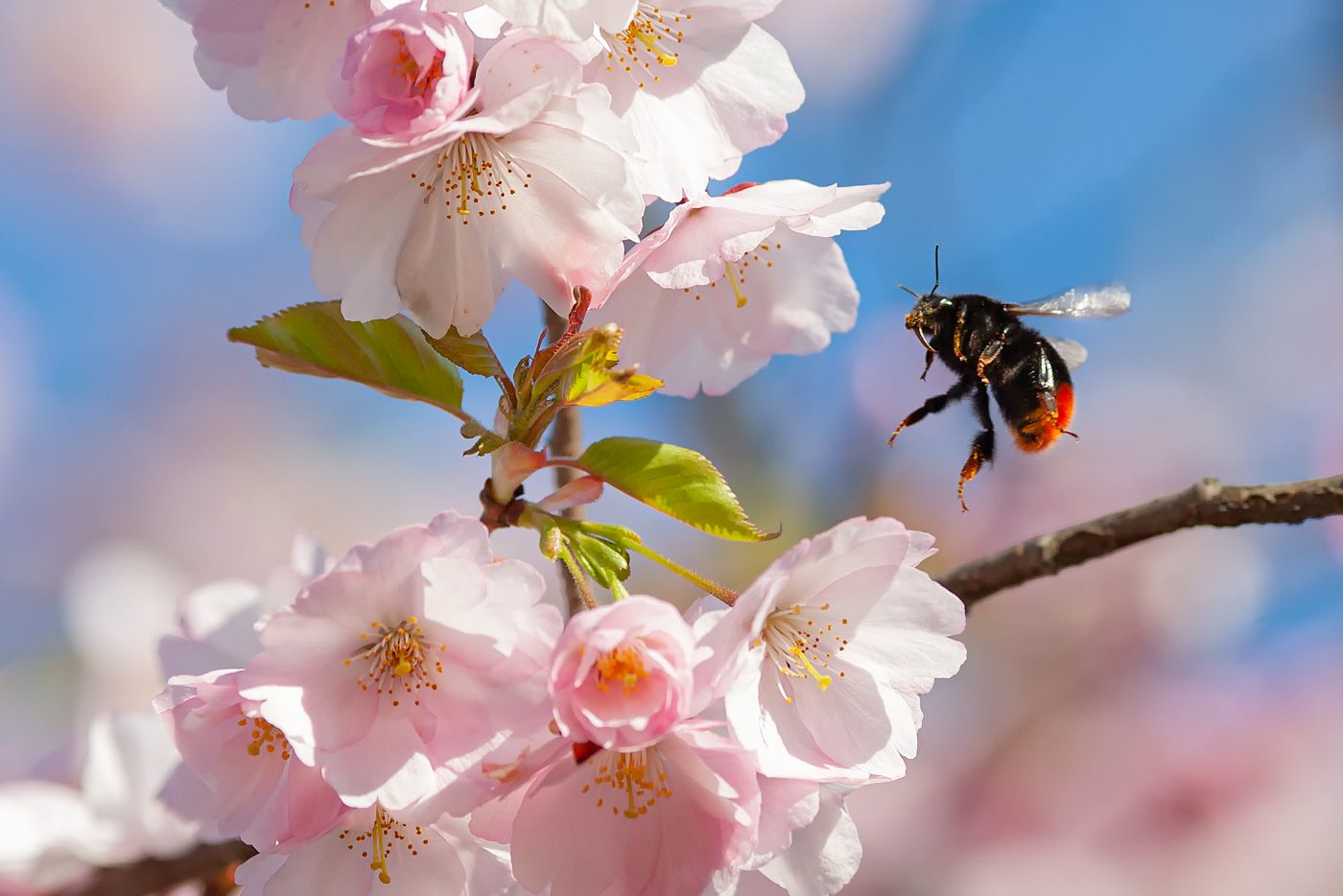 Цветёт сакура сакура цветы шмель весна