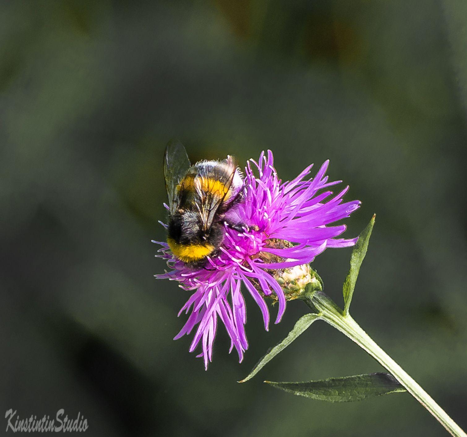 Шмкль и цветок... шмель цветок осень сентябрь