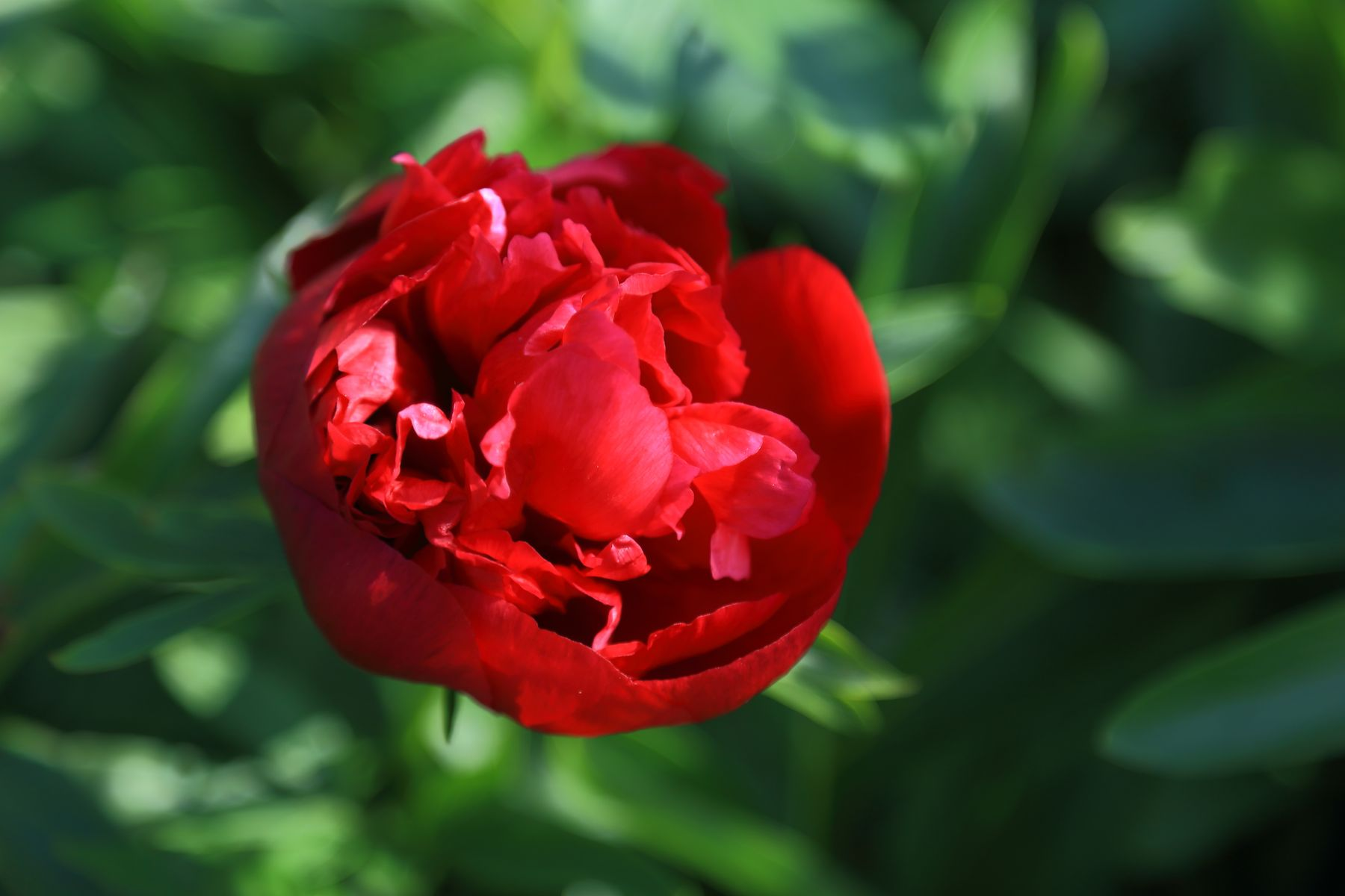 Пион цветы лето