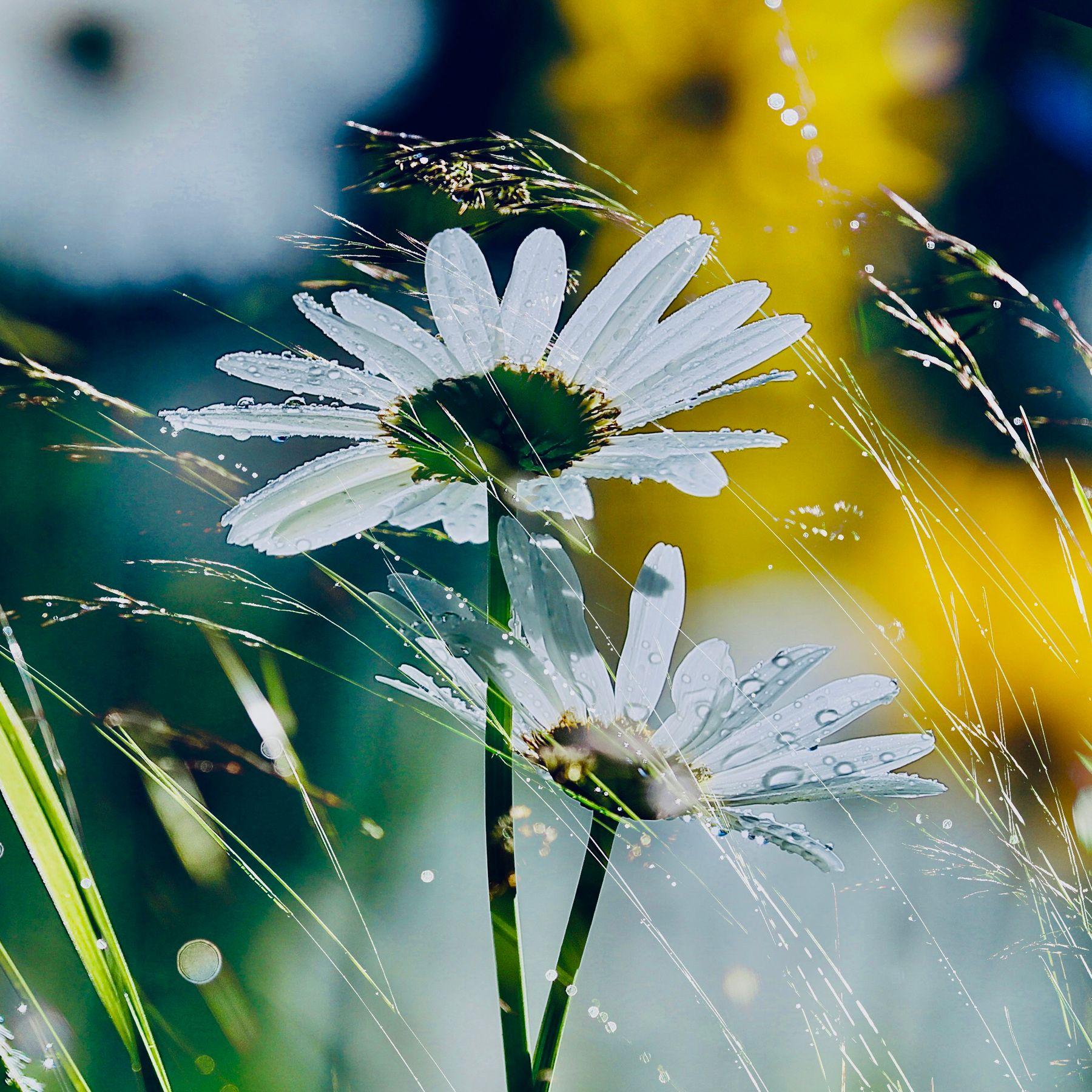 ***утро после дождя Куршевель ромашки цветы