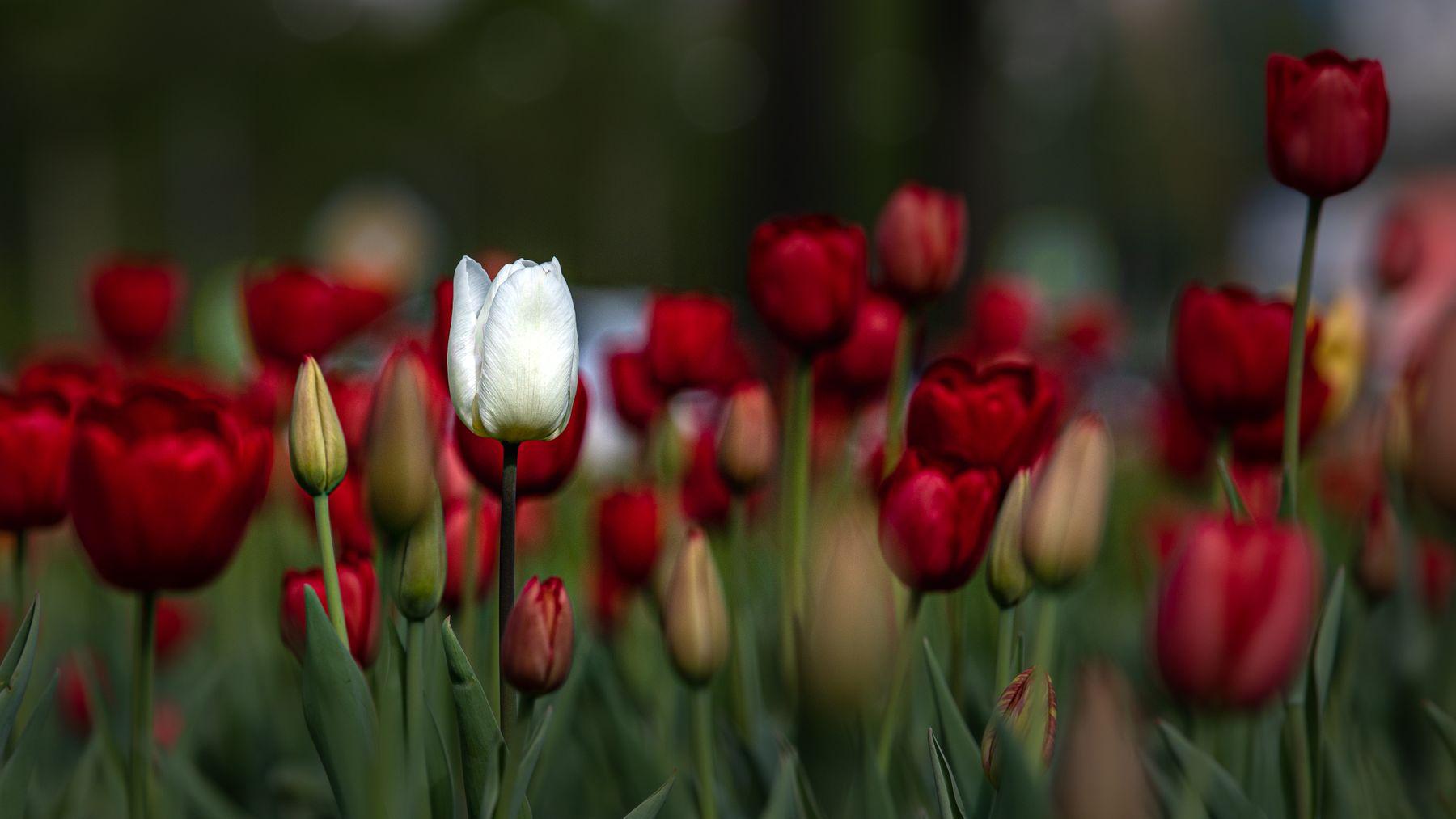 Городские тюльпаны тюльпан тюльпаны город москва цветы газон