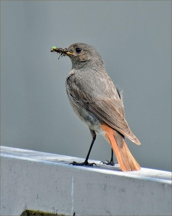 *** Горихвостка-чернушка птица самка лето Польша корм