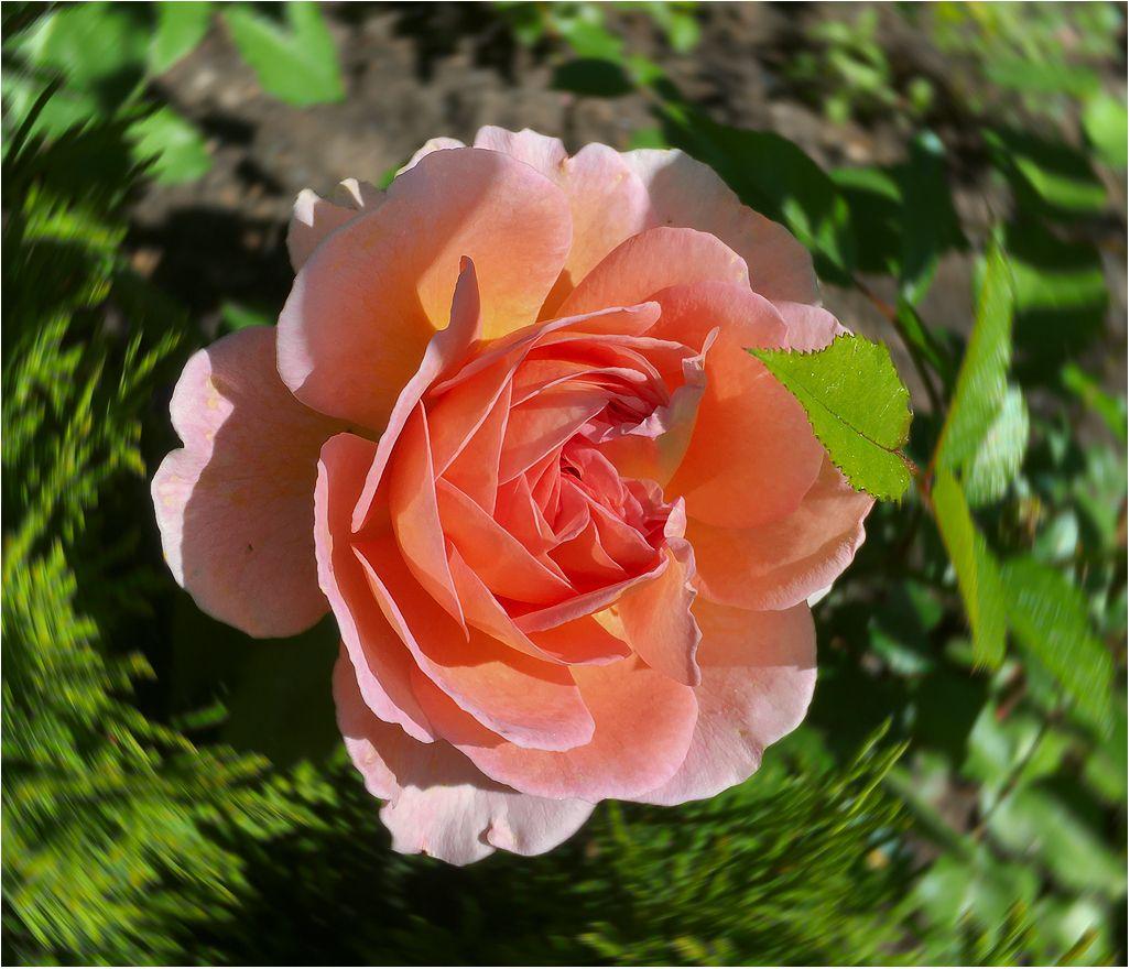 *** флора розы