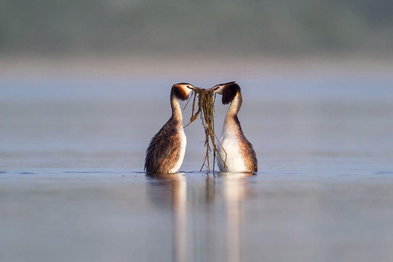 Чомга Чомга птицы природа Birds birdwatching