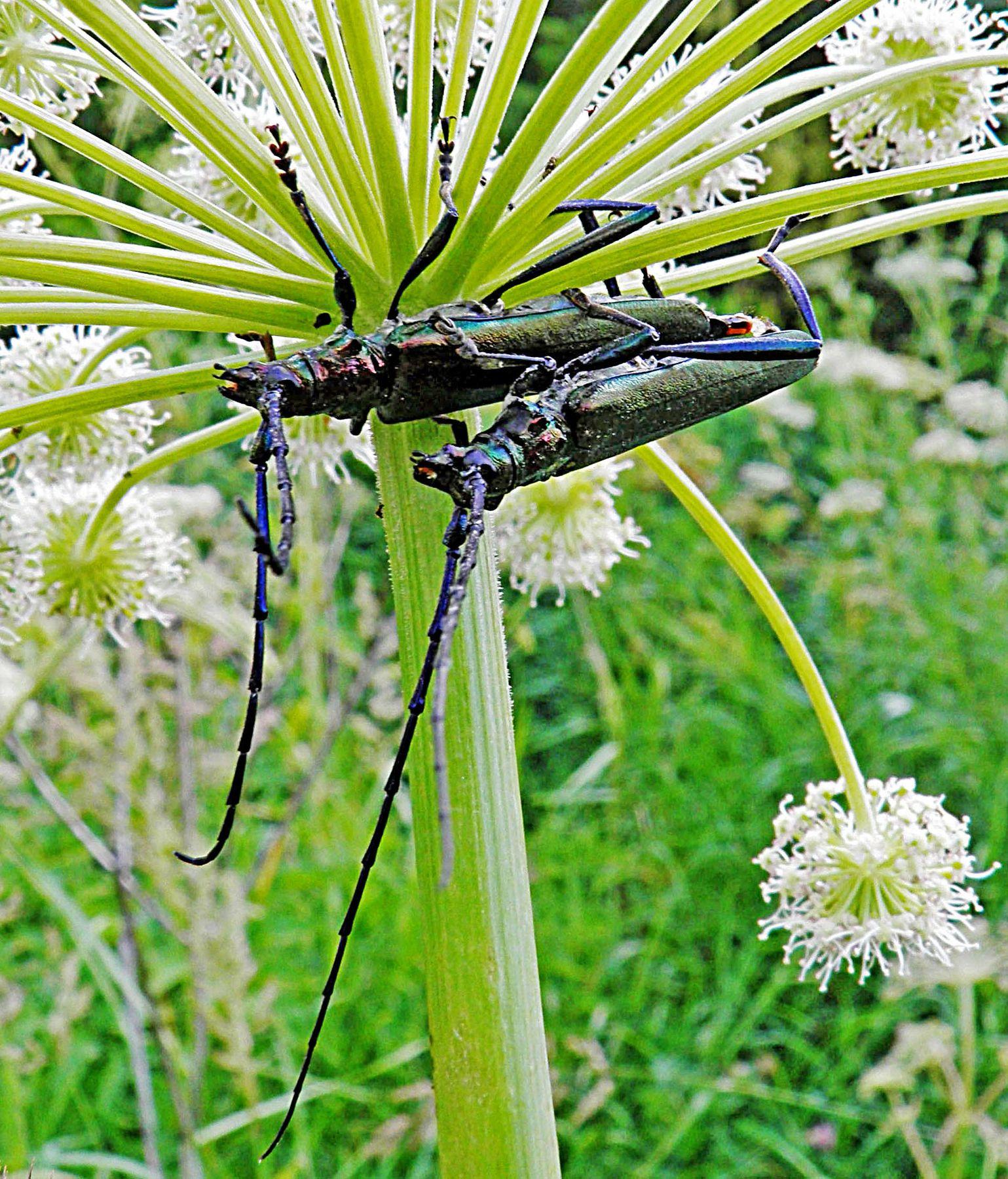 Под зонтиком борщевика макро насекомые