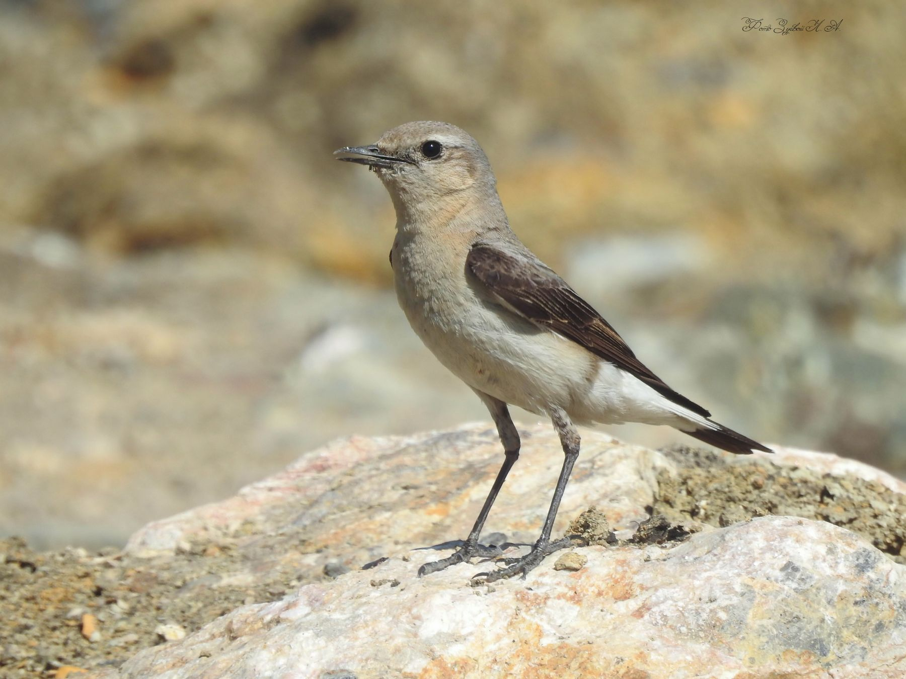 Каменка (девочка) Фотоохота птицы каменка