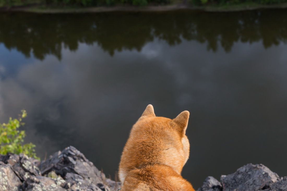 Взгляд в бездну. собаки сиба-ину природа шиба сиба лес отдых лето сибакен река