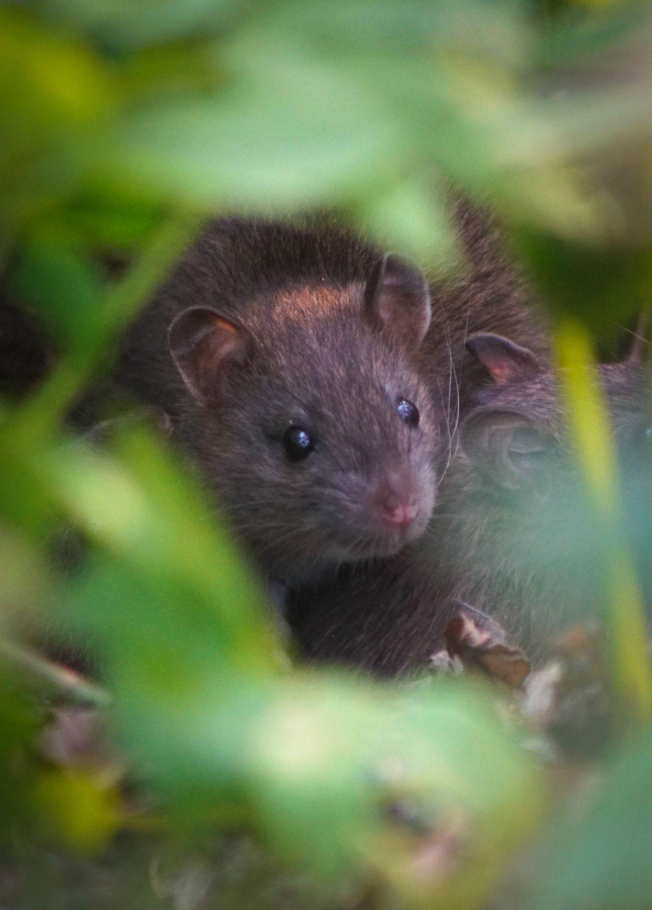 Маленькая крыска