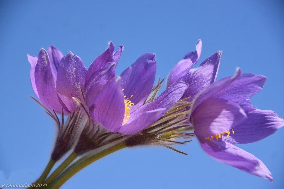 Сон-трава природа весна.цветы прострел