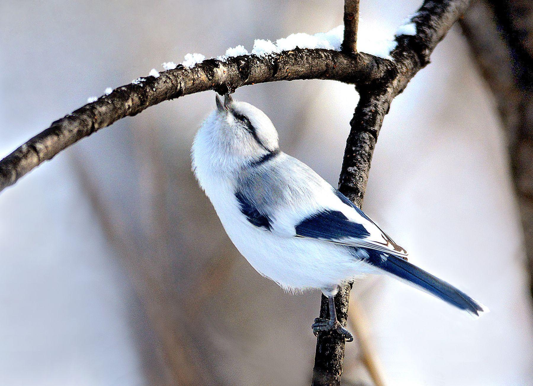 В поисках вкусненького. белая лазоревка дерево корм