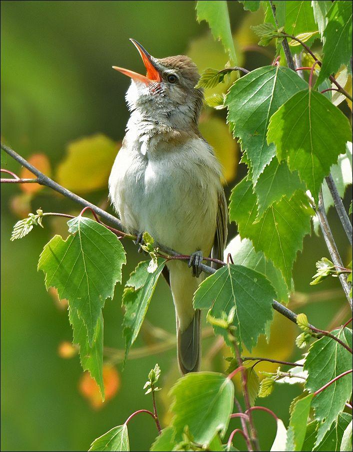 Дроздовидная камышовка тростник самец птица Польша озеро листы Дроздовидная камышовка дерево вода весна Бытом береза