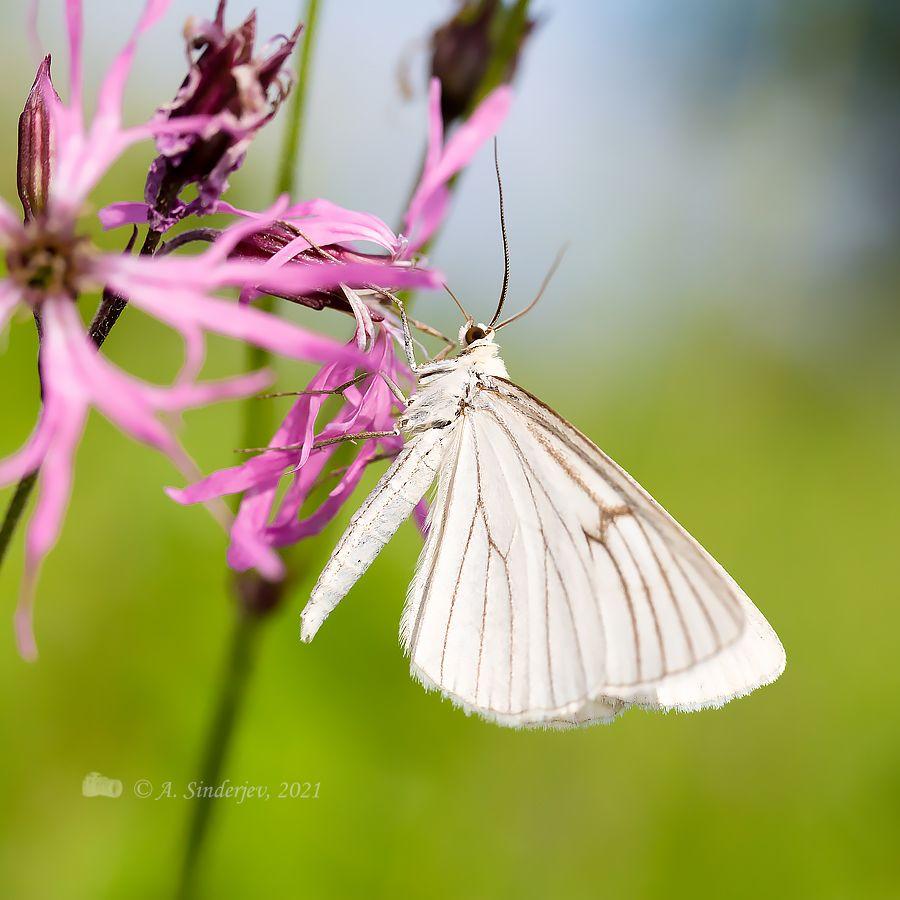 Бабочка белянка макро бабочка насекомое природа лето