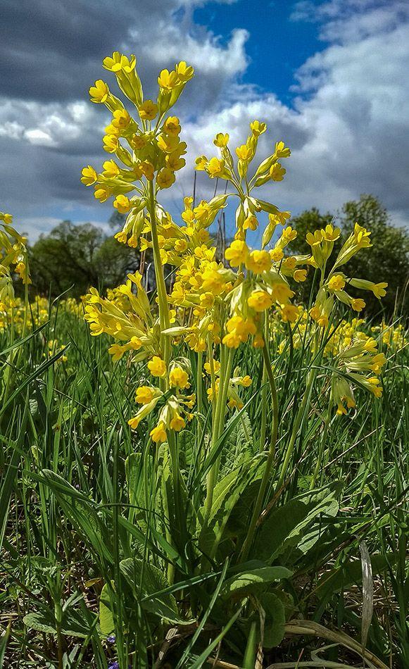 *** природа весна цветы россия май луг