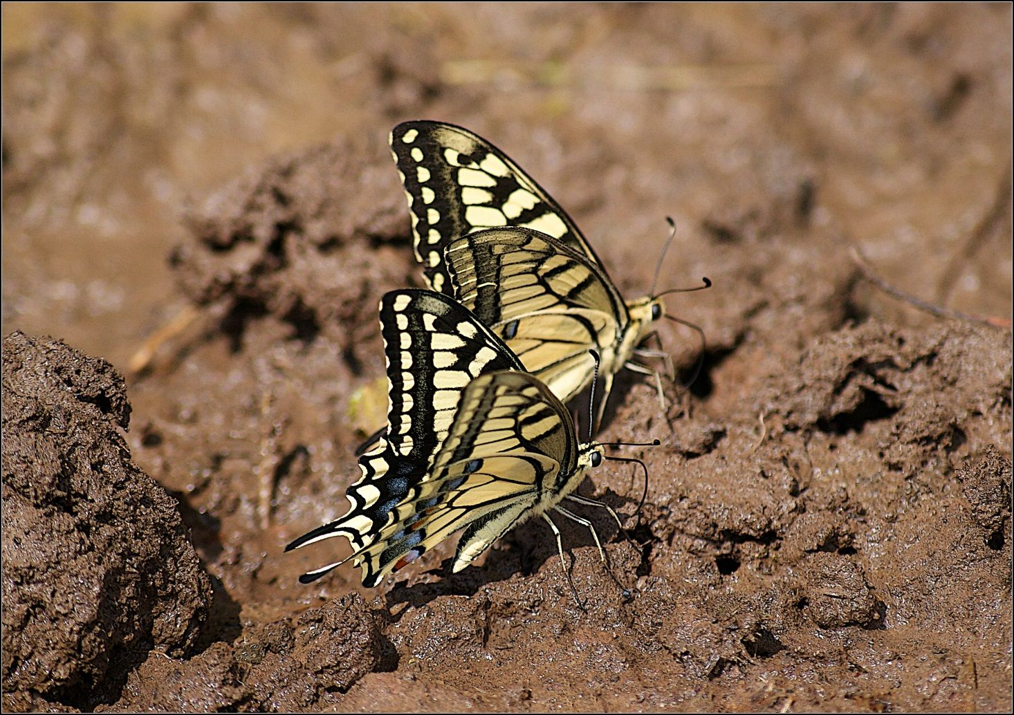 Вместе весело шагать.. бабочки Махаон