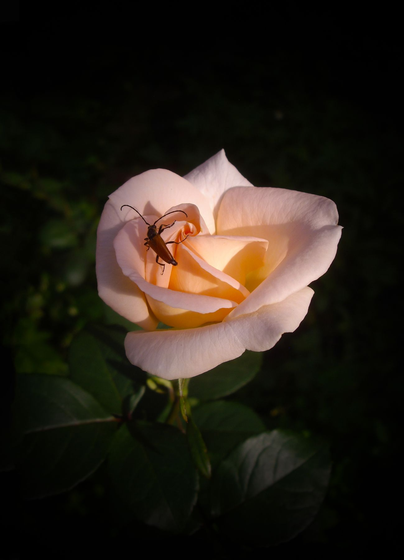Усач и роза.