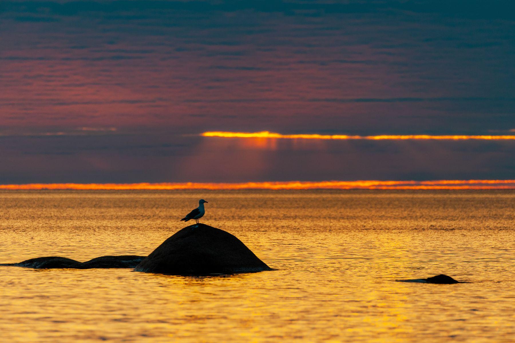 чайка на камне