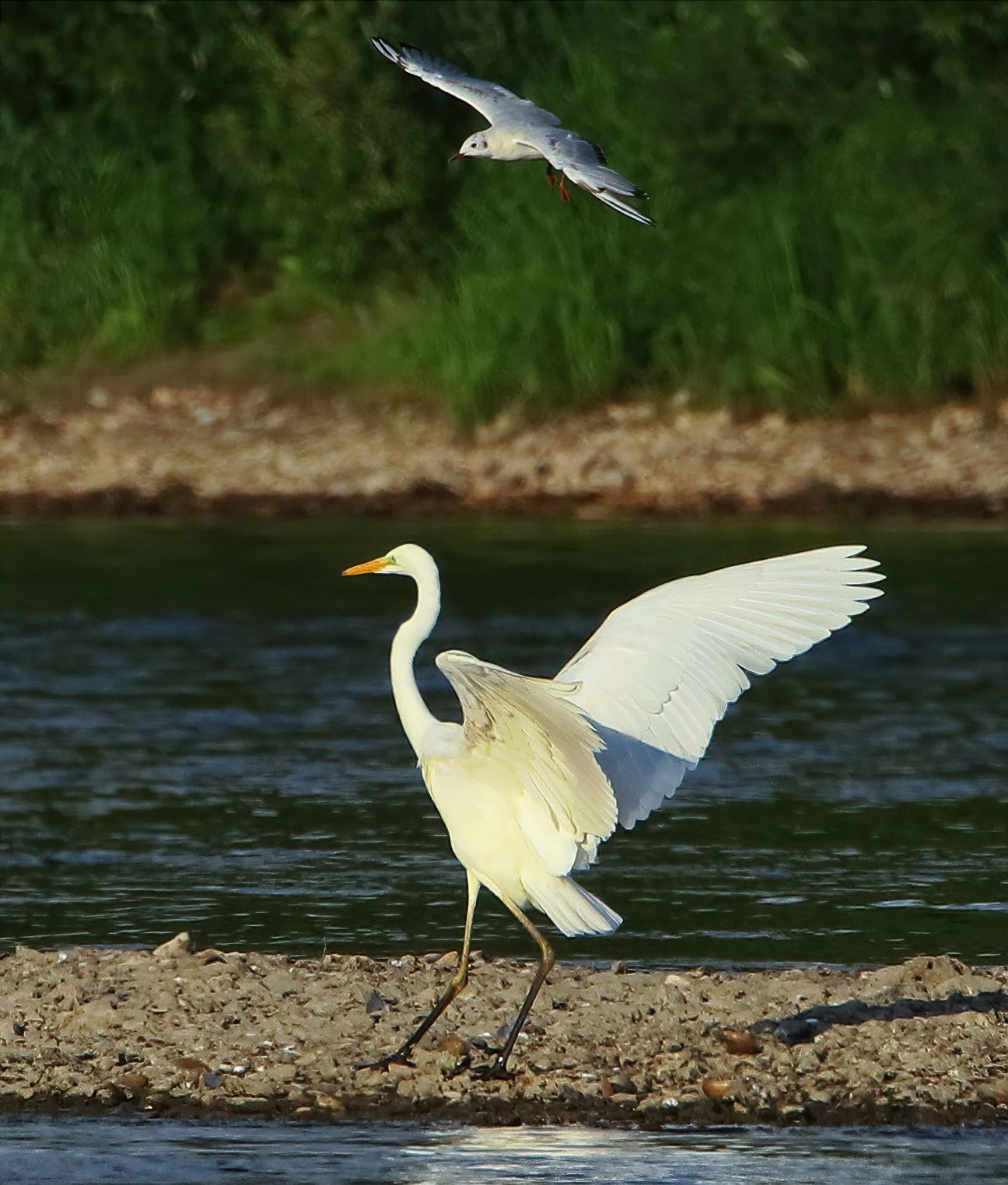 Танец белой цапли белай цапля чайка