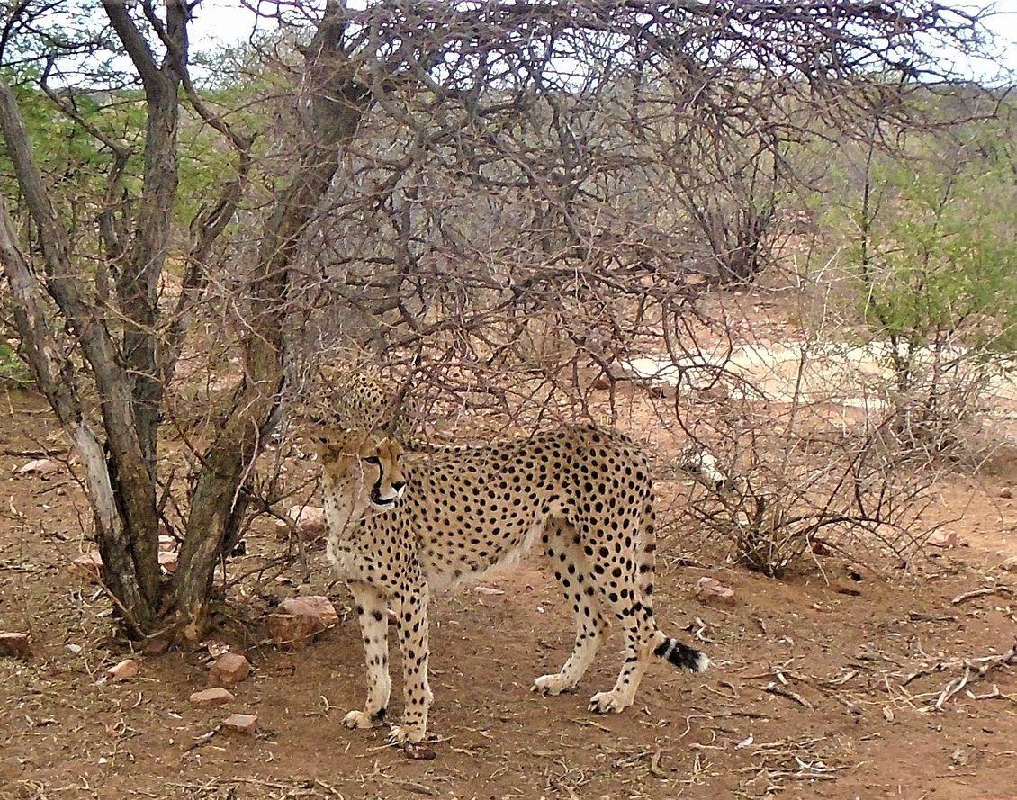 Намибия. Гепард. гепард намибия африка